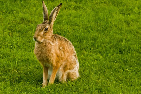 Picture of a hare